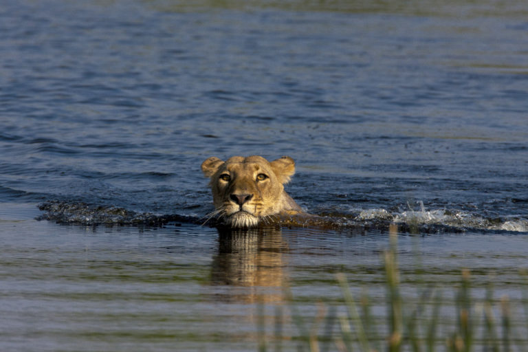 A lioness seen close to Zarafa Camp shows off her swimming skills