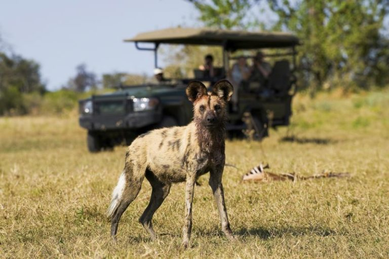 Sought after wild dog sighting on safaris from Zafara Camp