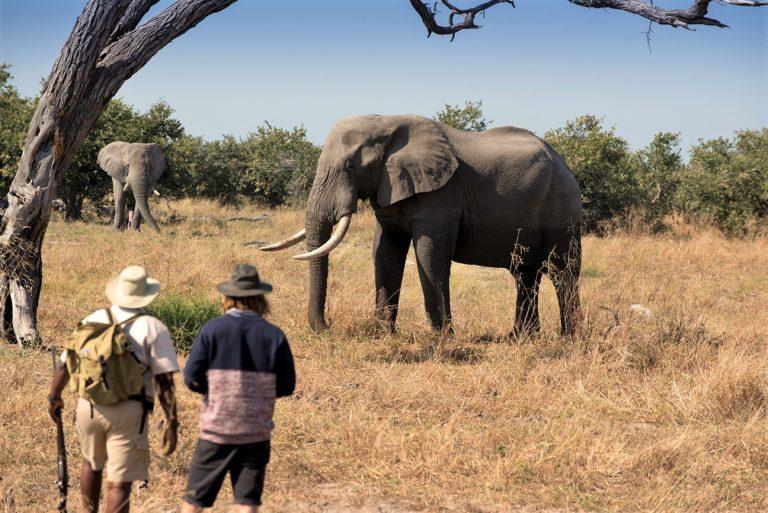 Elephant as seen on guided walking safari from Khwai Leadwood