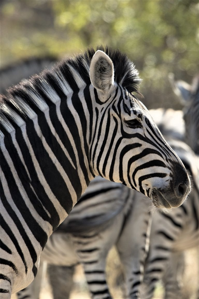 Zebra sighting in the Chobe Enclave on Linyanti gam