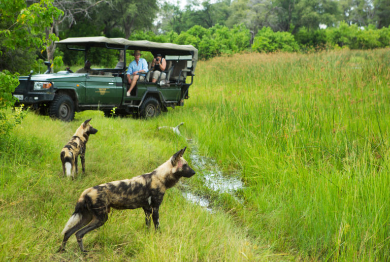 Thrilling African Wild Dog sighting on Selinda Camp game drive