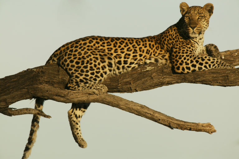 Sighting of an elusive resting leopard at Selinda Camp