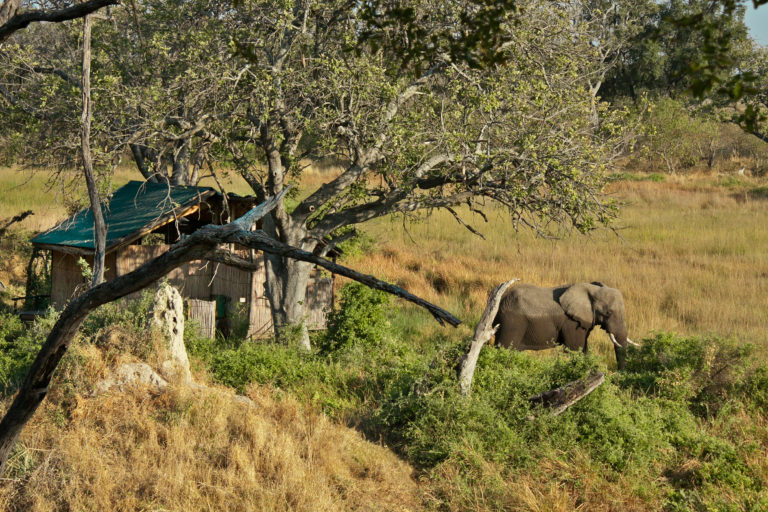 Elephant outside a guest tent at Delta camp