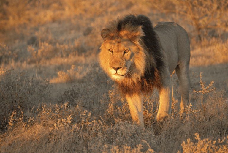 A Kalahari black maned lion seen at Tsau Hills