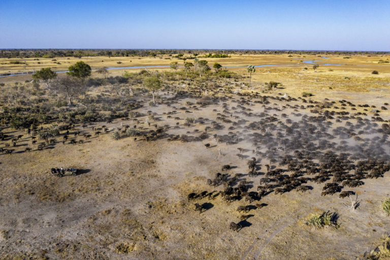 Large buffalo herds are found in the area around Kiri Camp
