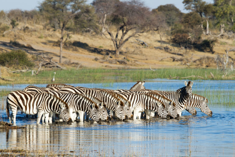 Quenching their thirst Zebra congregate at the waters edge of the Boteti River