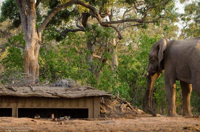 Mashatu's photo hide admired by an elephant