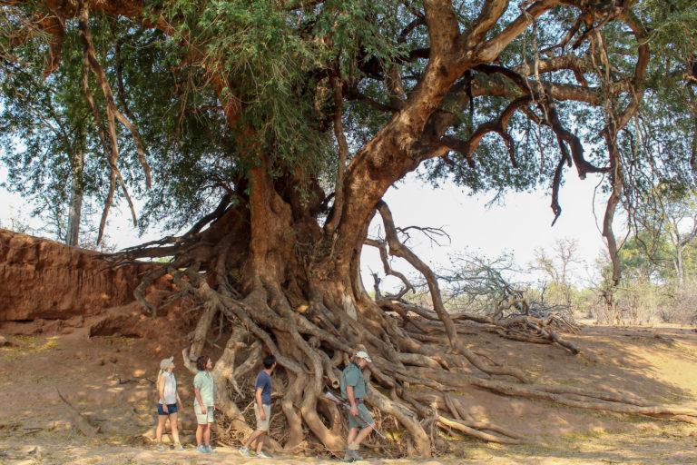 The Land of Giants where everything seems bigger at Mashatu