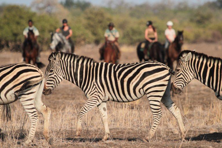 The zebra are very comfortable on a riding safari from Mashatu