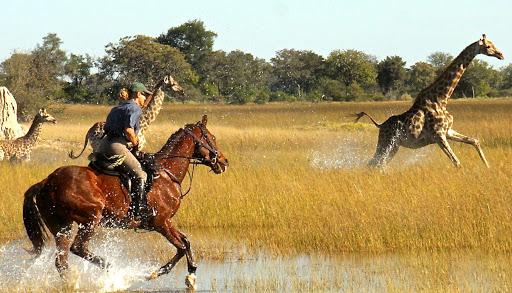 Okavango Horse Safaris guest rider canters behind a giraffe in the delta