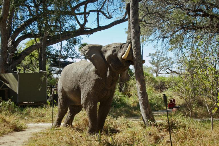 Wildlife especially elephant roam through the Oddballs camp