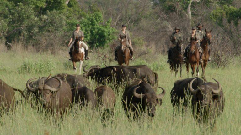 Riders riding with buffalo from Okavango Horse Safaris