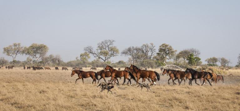 Horses from Okavango Horse safari gallop across the landscape