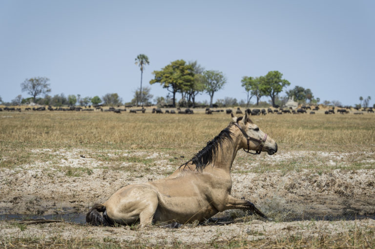 A horse stops for a dust bath on the grasslands and a herd of a buffalo seen grazing in the background