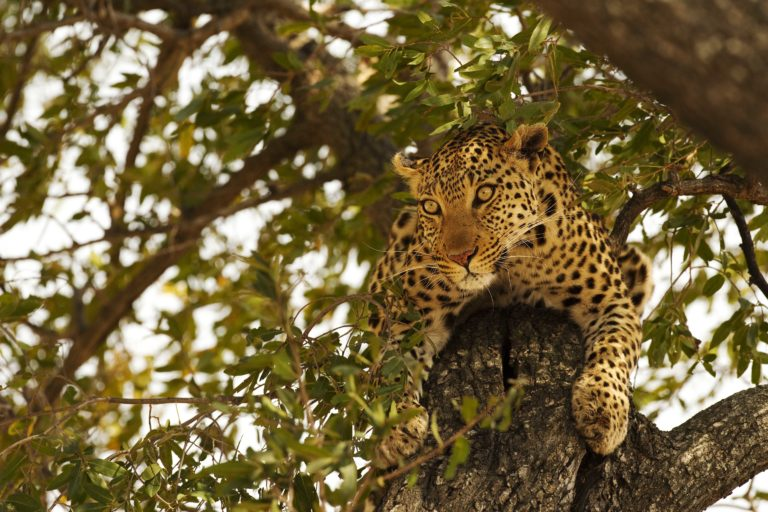 Shinde camp game viewing reveals a coveted leopard sighting