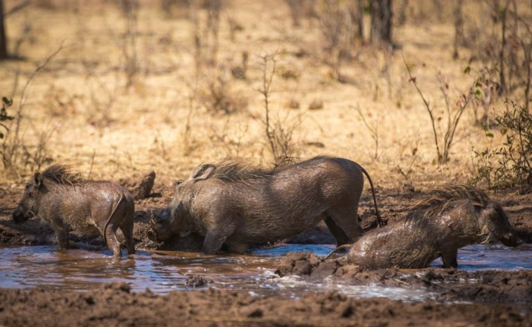 Wallowing warthogs as seen at The Wallow