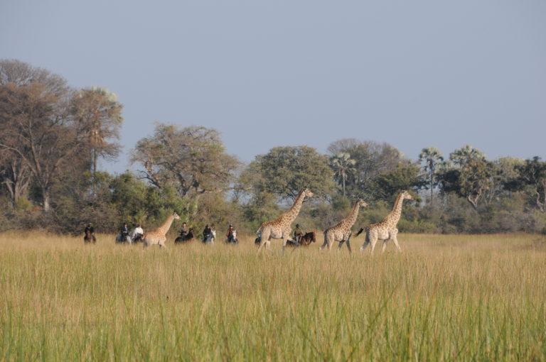 Distance sighting of giraffe on horseback with Horse Back Safaris