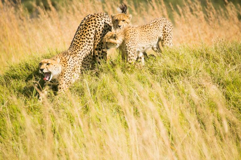 Bushman Plains Camp guests enjoy frequent sightings of plains loving cheetah