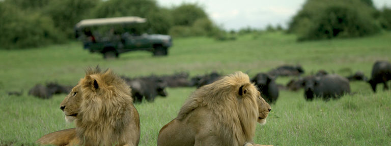 Lions on a game drive at Duba Explorers Camp