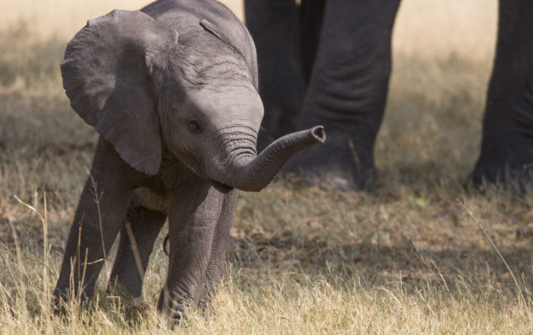 The Duba concession is home to many marvelous creatures such as elephant