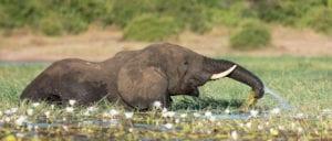 African Elephant Bull feeding on water lilies in the Okavango, Botswana