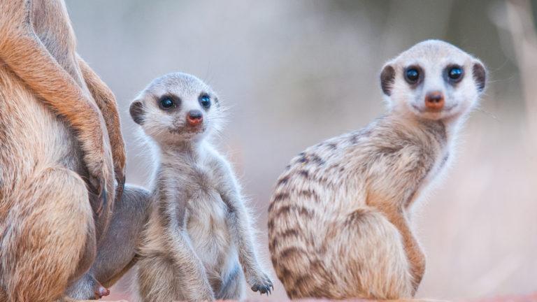 The very popular habituated meerkats at Tswalu