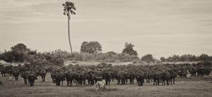 A lioness faces a wall of buffalo in the Okavango