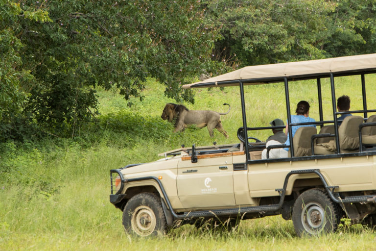 A close encounter with male lion on Muchenge game drive