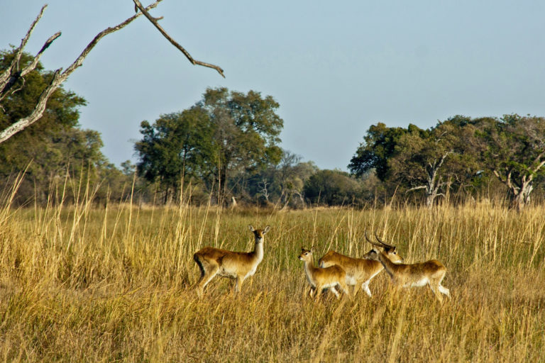 Lechwe grazing in the Delta as seen by Oddballs Enclave guests