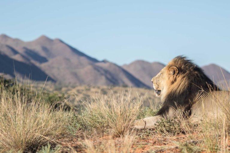 Majestic Tswalo Kalahari Lion