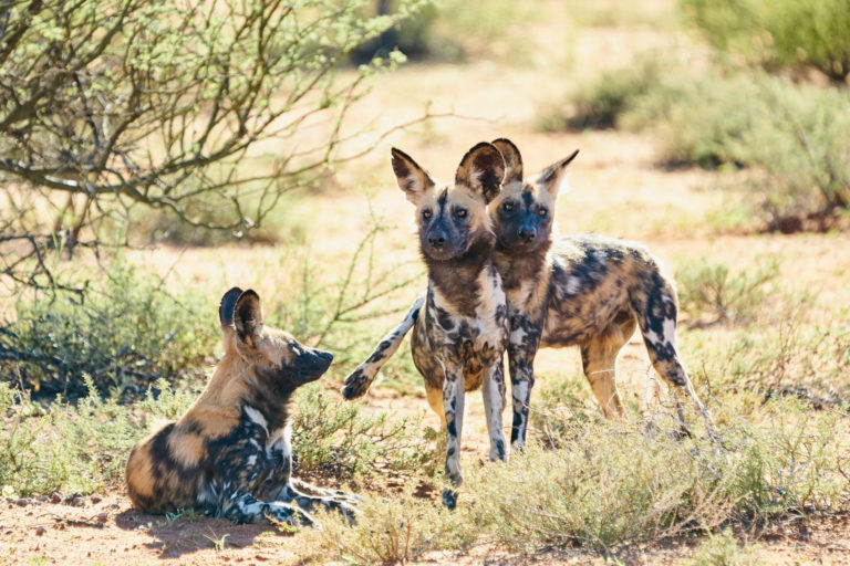 Excellent viewing of Wild Dog pack at Tswalu