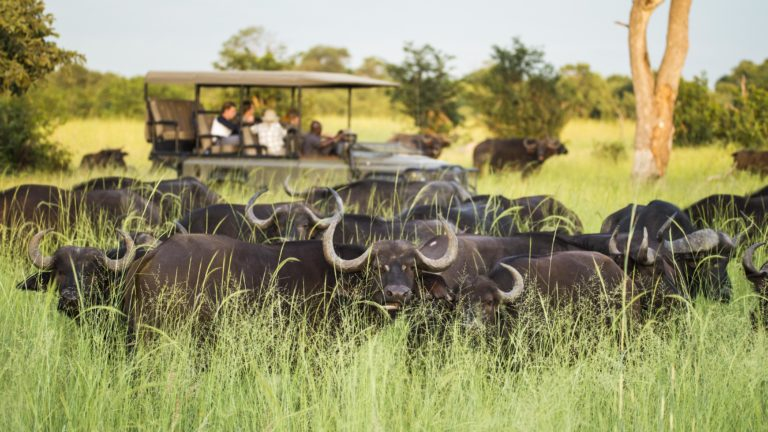 Beagle Expeditions game drive comes across a buffalo herd in the grassland