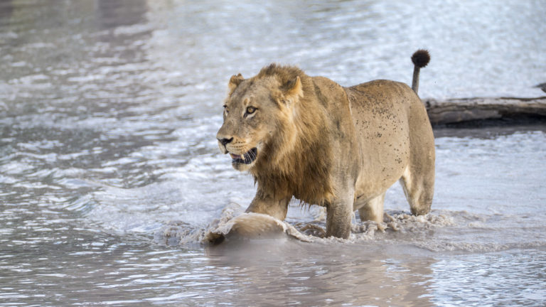 A majestic young male lion as see by Beagle Expedition guests on safari