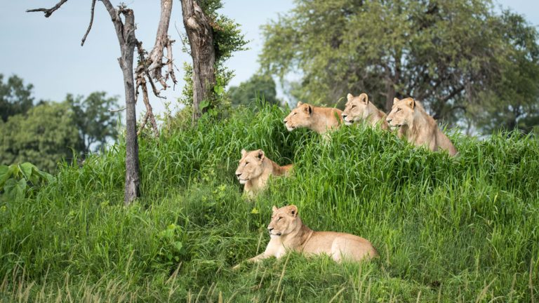 Lion pride seen on safari under the protection of professional Beagle Expeditions guides