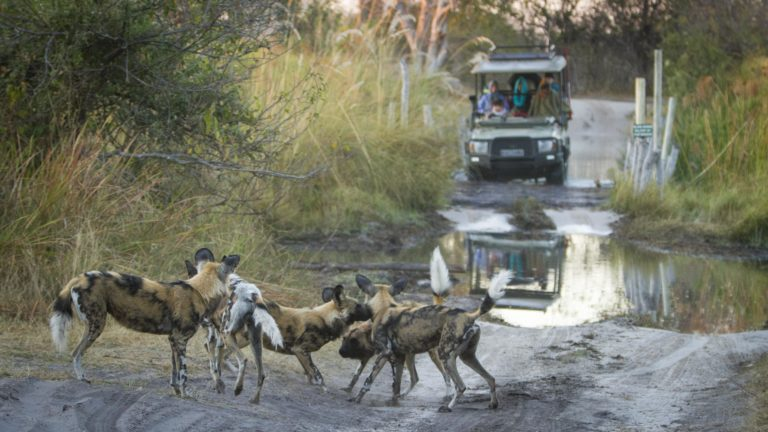 Wild Dogs as seen by guests on Beagle Expeditions game drive