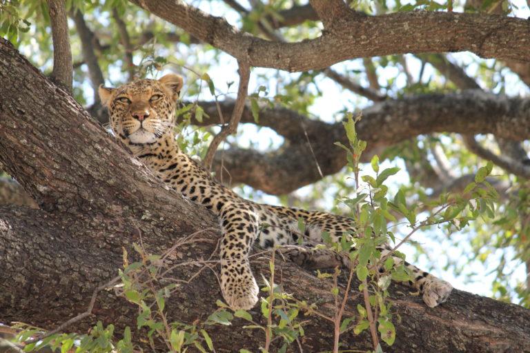 Leopard sighting in tree on a David Foot Safari