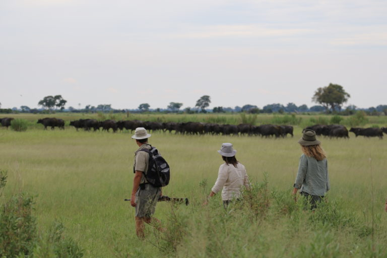 Approaching a buffalo herd on foot with David Foot Safaris