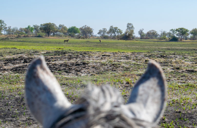 Lions from a distance on horseback with David Foot Safaris