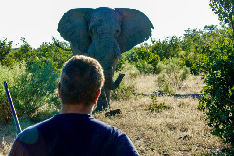 Elephant mock charge at Kwapa Camp with African Guide Association
