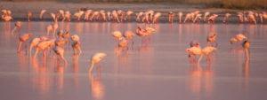 Flamingos can be seen at the makgadikgadi pans during green season birding safaris