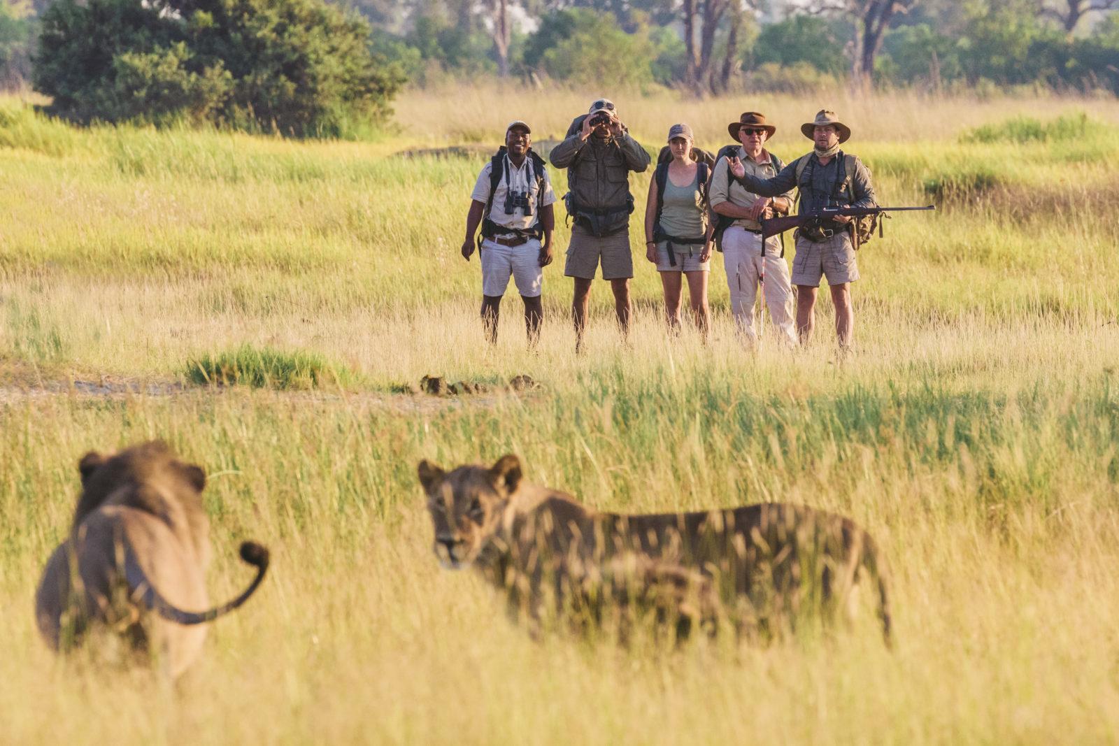 Taking a walk among lions with Walk Botswana Safaris