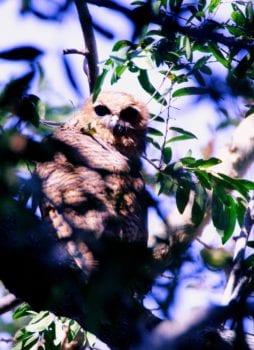 The rare Pells fishing owl is a special sightings on birding safaris to the Okavango delta