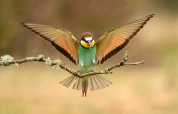 Carmine bee eaters are seen on Botswana birding safaris through the Okavango