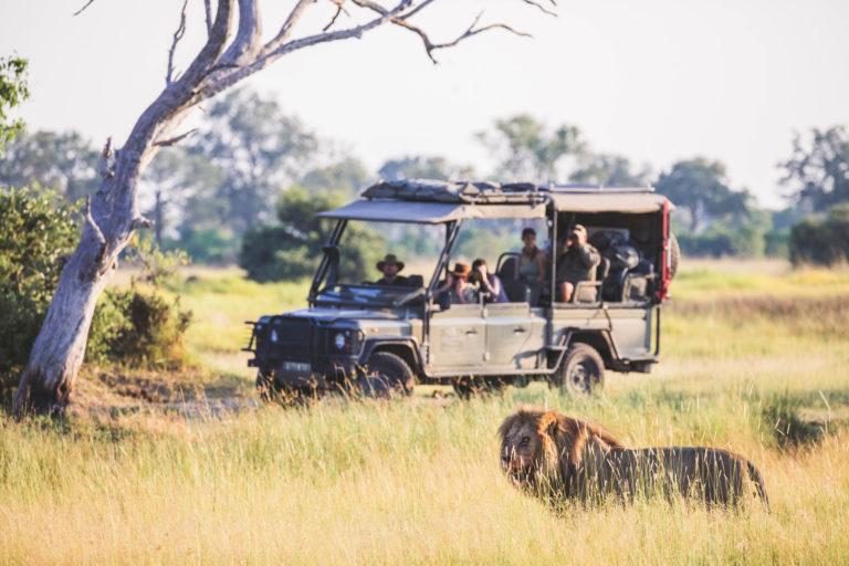 Lion sighting from Walk Botswana safari vehicle
