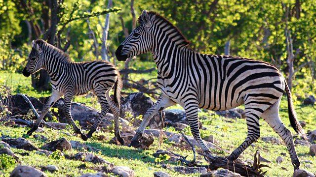 Nature's Epic Journeys: Zebra